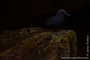 Common Noddy in Sea Cave