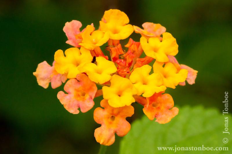 Multicoloured Lantana