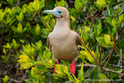 Genovesa island. Darwin Bay: Red-footed Booby (Sula sula)