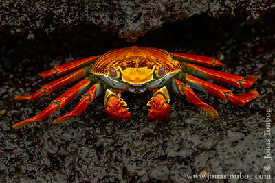 Floreana Island. Cormorant Point: Sally Lightfoot Crab (Grapsus grapsus)