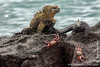 Marine Iguana, Isabela Sub-species, and Sally Lightfoot Crab