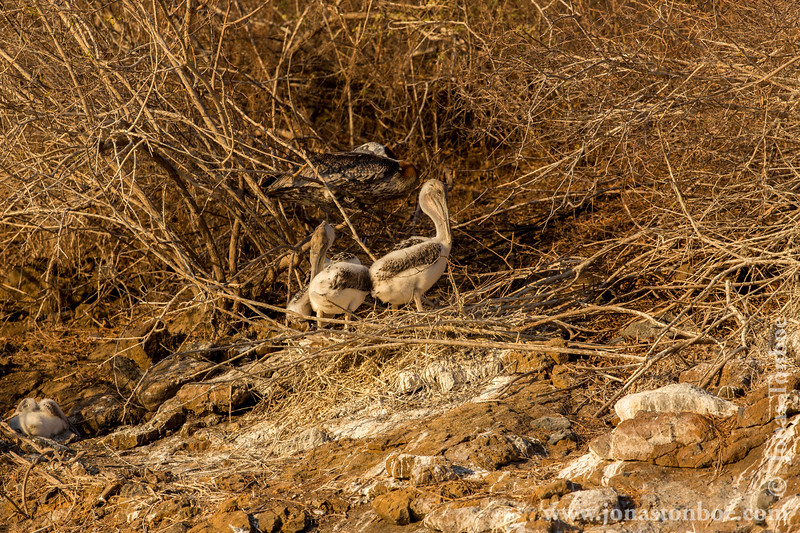 Brown Pelican Chicks