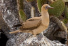 Juvenile Red-footed Booby