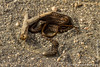 Fernandina Snake