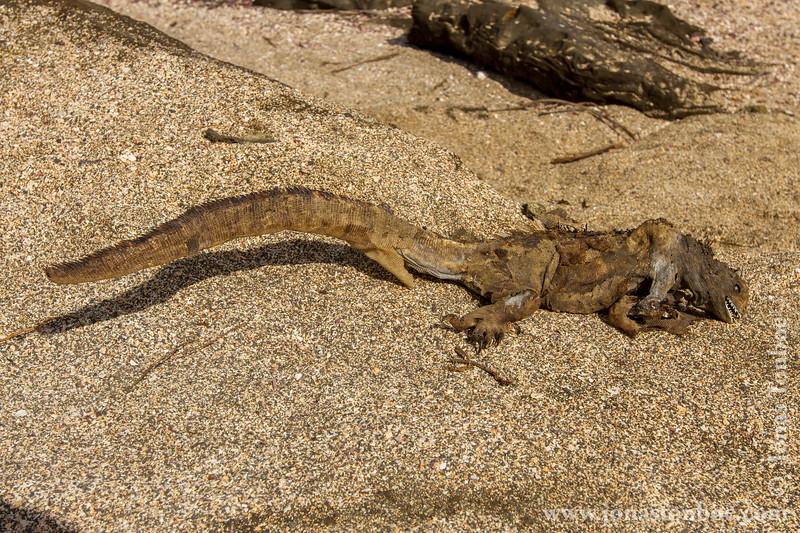 Dead Marine Iguana, Santiago Sub-species