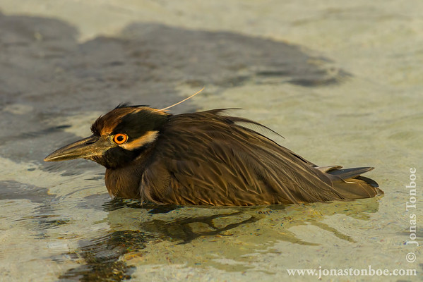 Genovesa island. Darwin Bay: Yellow-crowned Night Heron (Nyctanassa violacea)