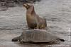 Galapagos Sea Lion and Green Sea Turtle