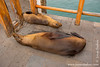 Galapagos Sea Lion at Town Quay