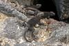 Juvenile Marine Iguana, Fernandina Sub-species