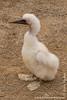 Nazca Booby Chick
