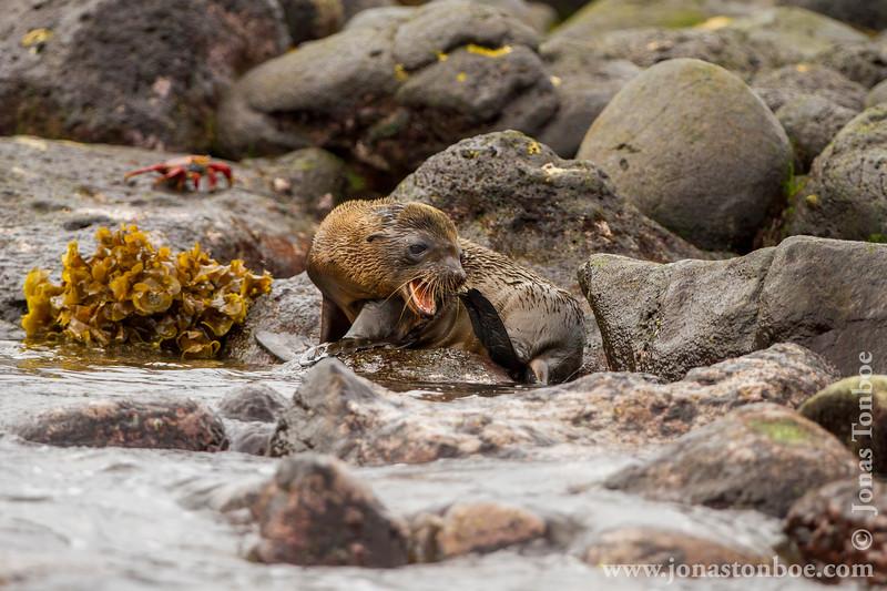 Galapagos Sea Lion Cub