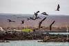 Frigatebirds and Flightless Cormorant