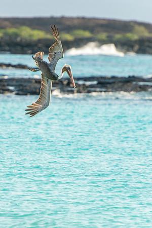 Brown pelican plunge diving