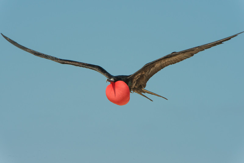 Great frigate bird. Galapagos Islands.