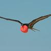 Great frigate bird. Galapagos Islands.