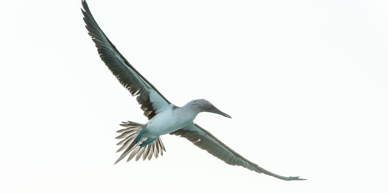 Blue-footed boobie in flight. Galapagos Islands.