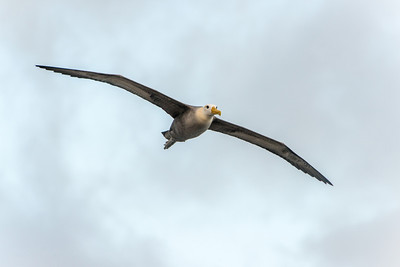 Waved albatross in flight, Espanola Island