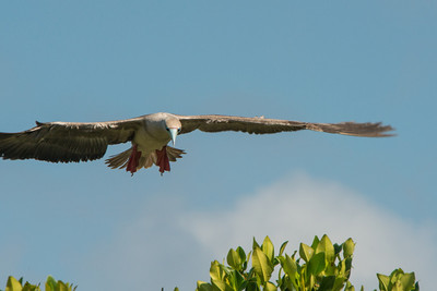 Red-footed boobie in flight