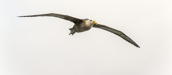 Waved albatross in flight, Espanola Island