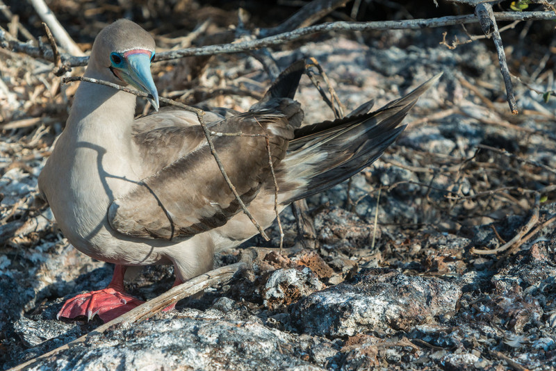 Red-footed boobie nest building