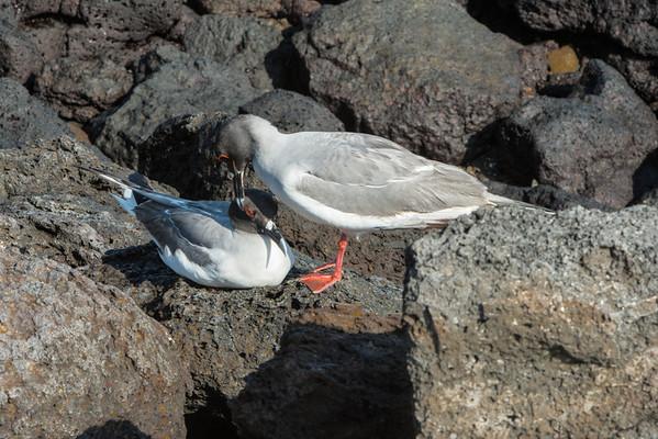 Swallow-tail gulls