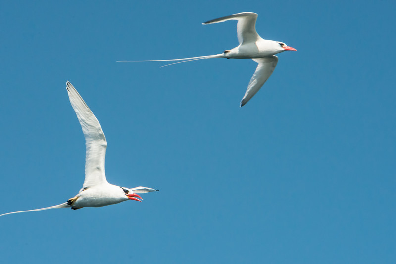 Red-billed tropic birds. Galapagos Islands.