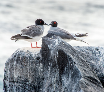 Swallow-tail gulls