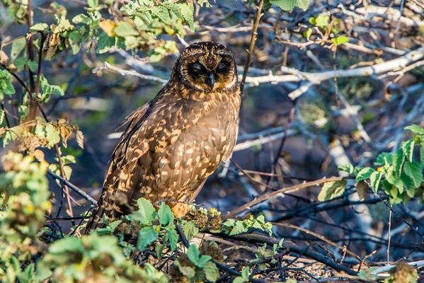 Short eared owl on Genovesa.