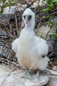 Nazca boobie chick