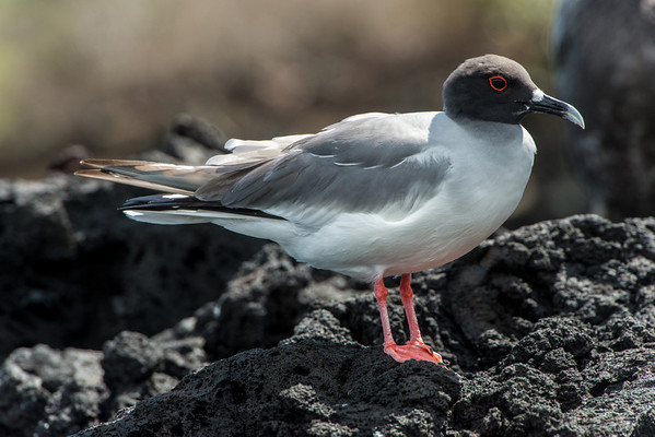 Swallow-tail gull
