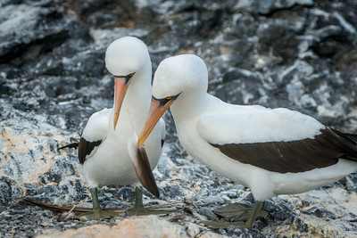 A pair of Nazca boobies nest building