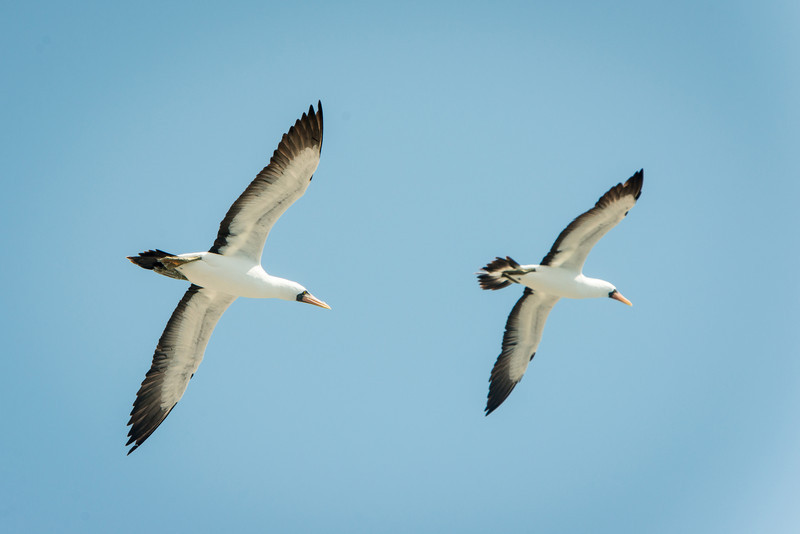 Nazca boobies in flight