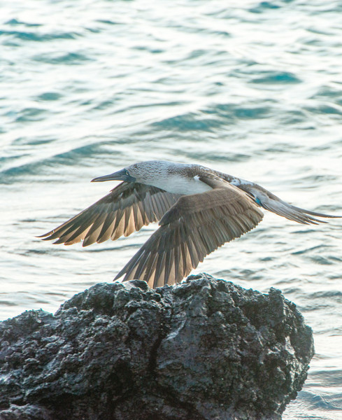 Blue-footed boobie