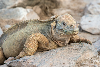 Land iguana on Santa Fe Island (where they are lighter in color).