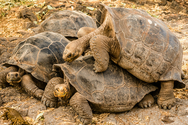Giant tortoises at the Drawin breeding station.