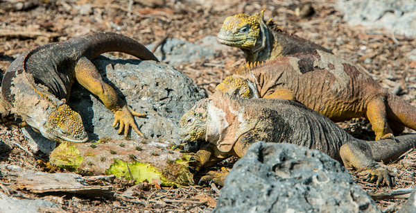 Land iguanas eating prickly pear (on South Plaza Island).