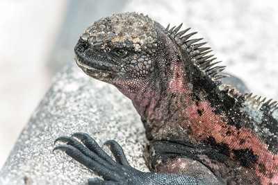 Marine iguana in breeding colors.