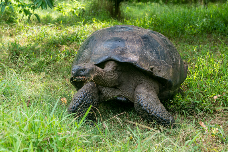 Giant tortoise at a farm on Santa Cruz.