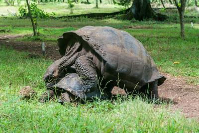 Mating giant tortoises at a farm on Santa Cruz.