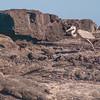 Egret stalking young Marine iguanas