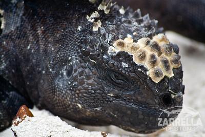 """Marine Iguana"" (Santa Cruz, Galapagos)"