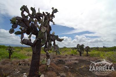 """""""Opuntia"""" (Isabella, Galapagos)"""