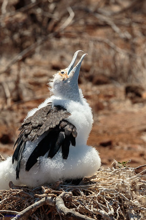 Magnificent frigatebird - chick