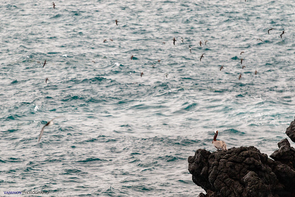 Coastal view and birds from Plaza Sur Island.  Galápagos