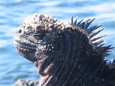 Stekelig. Española, Galapagos Eilanden.