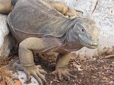 Opa onder de landleguanen. Santa Fe, Galapagos Eilanden.