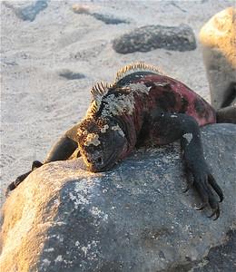 Zeeleguaan. Española, Galapagos Eilanden.