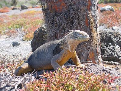 Prikkels. Plazas, Galapagos Eilanden.