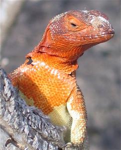 Lava Lizard. Española, Galapagos Eilanden.
