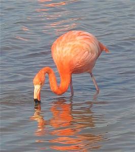 Flamingo op Punta Cormorant. Floreana, Galapagos Eilanden.